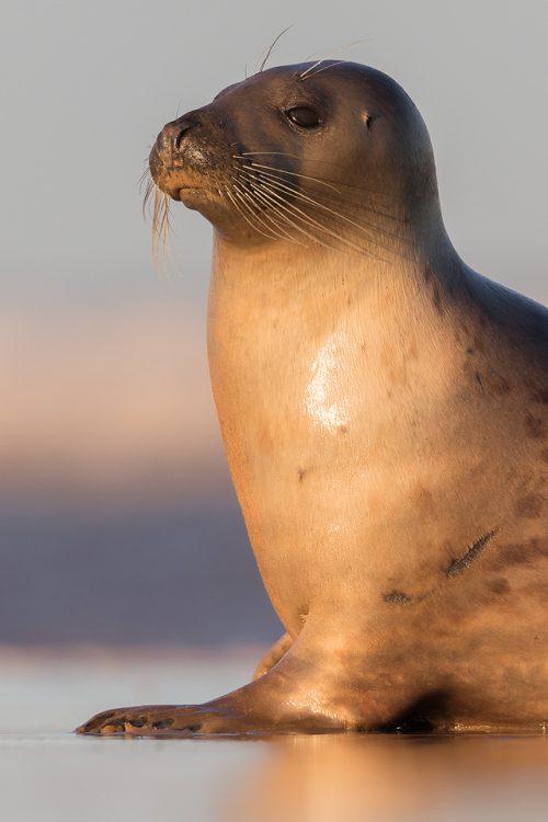 Grey Seal Cow Portrait