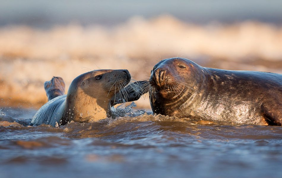 A tender moment in the surf between a grey seal bull and two cows. Lincolnshire, UK. Grey Seal Photography Workshop