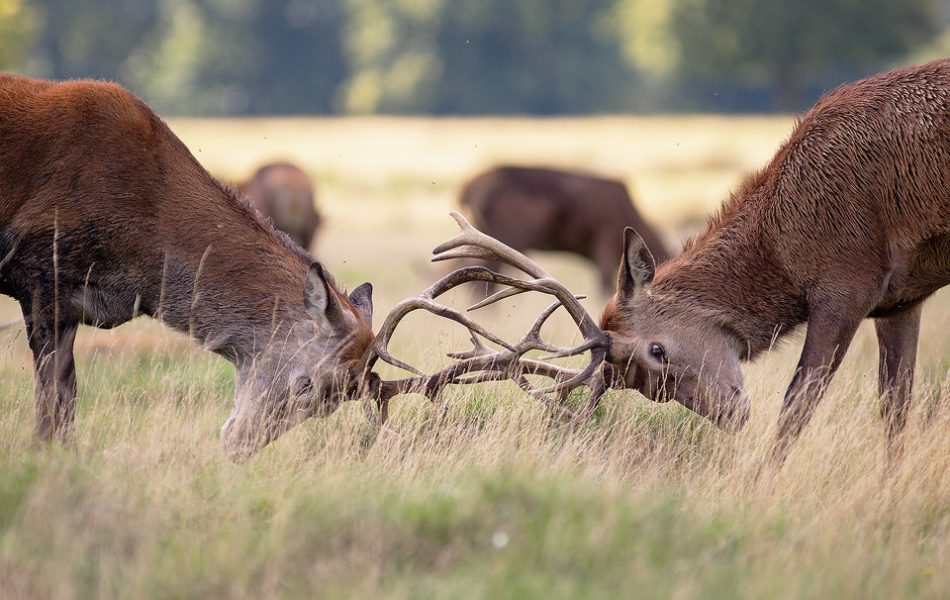 Rutting Stags. Two young red deer stags rutting to control the nearby harem of females.