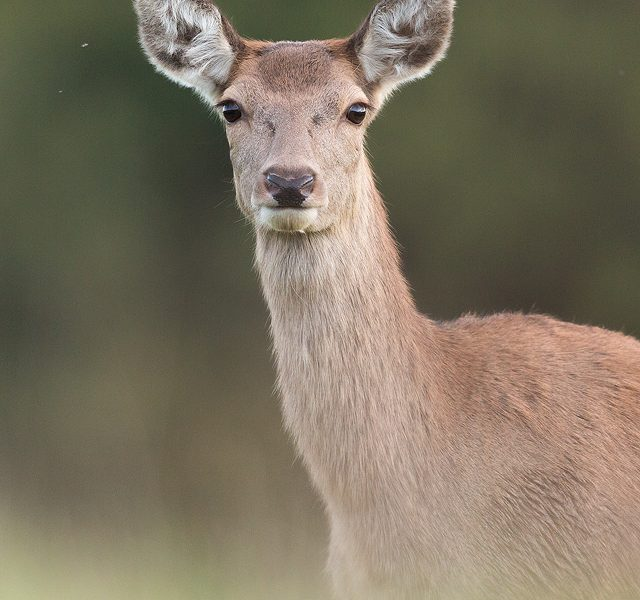 Red Deer Doe Close Up. By approaching incredibly slowly and carefully over the space of an hour, I made it very clear to the deer that I wasn't a threat. Eventually they became so used to my presence that they actually came right over to me to investigate! This stunning doe came so close I opted for a head and shoulders portrait.