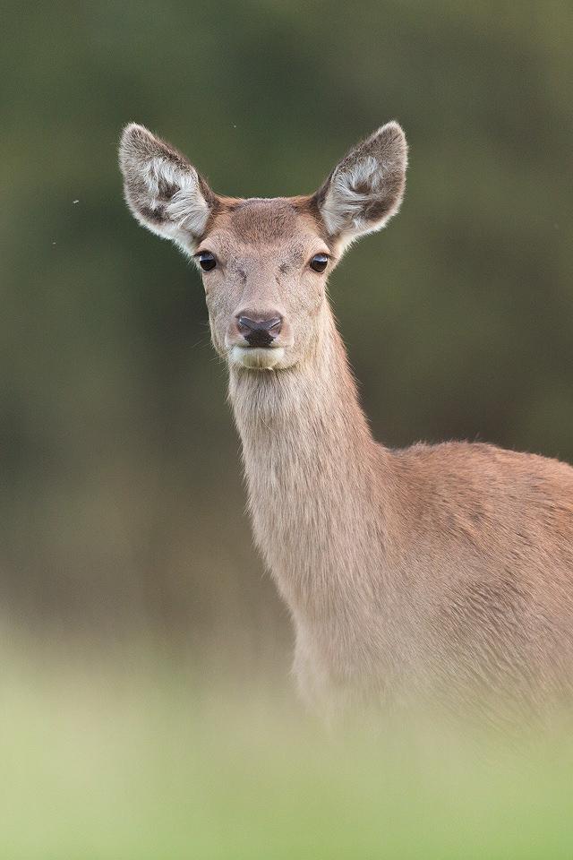 Red Deer Doe Close Up