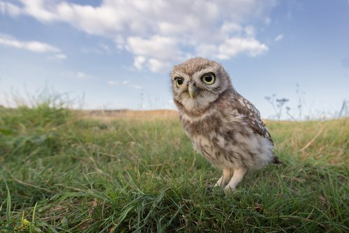 Wide Angle Little Owlet 2
