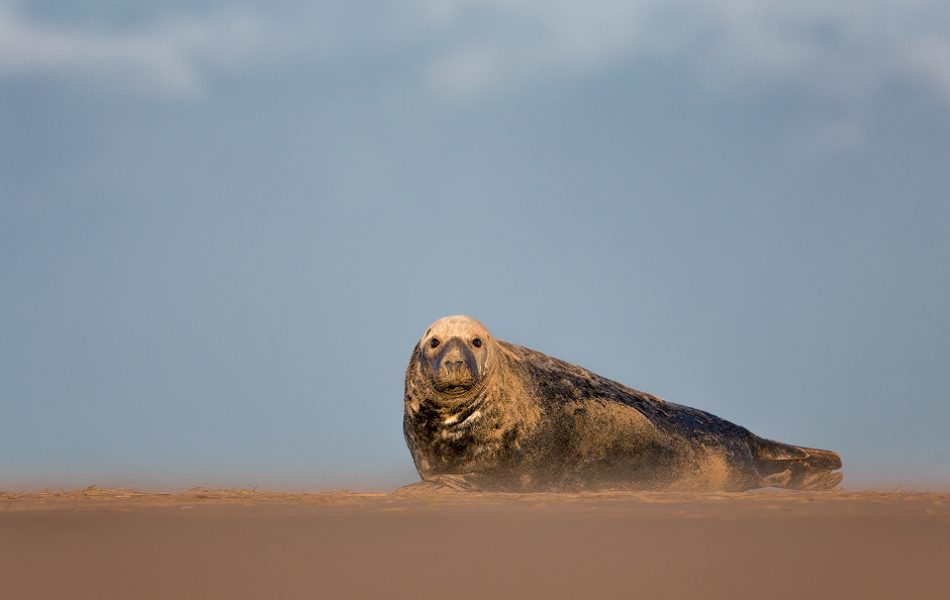 A Grey Seal Bull relaxes on the sandy beach under a moody sky. Lincolnshire, UK.