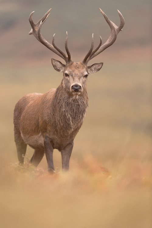 Autumn Red Deer Stag