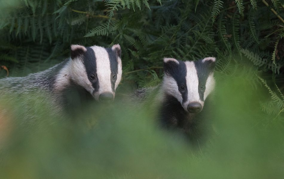 A mother and cub emerge from their sett together just before dusk. Derbyshire, Peak District National Park. Despite being incredibly shy and elusive, badgers are one of my favourite British species to photograph.