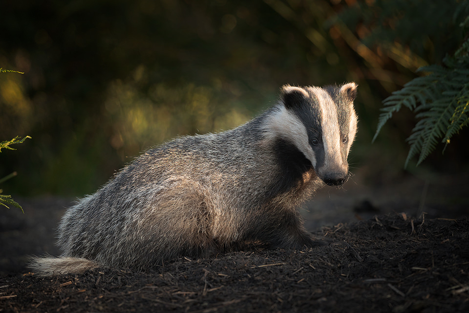 A badger cub emerges from the sett in the last rays of evening sunshine. Peak District wildlife photography. Badger Photography workshops.