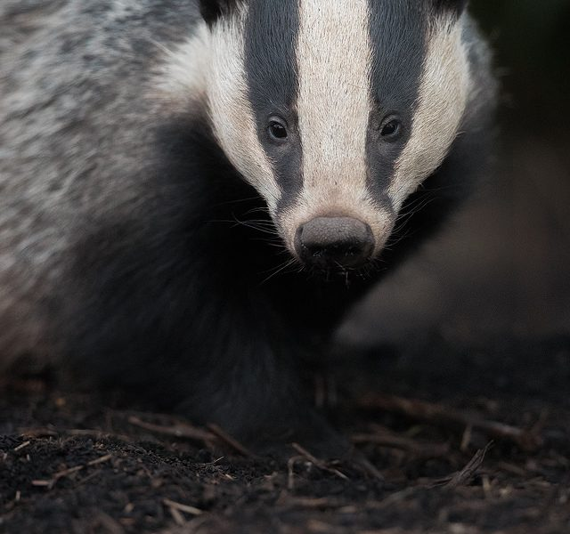 A close encounter with an adult badger as it stares down the lens, trying to work out what the clicking noise is. Derbyshire, Peak District National Park.