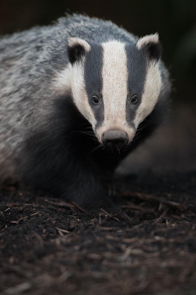 Badger Close Up
