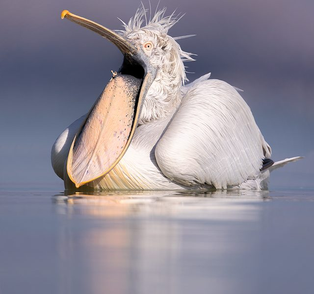 Dalmatian Pelican pouch stretch. An adult pelican stretches out their huge bill pouch Lake Kerkini, Northern Greece. These stunning birds spent a lot of their time preening and stretching, ensuring they were looking their best as the breeding season approached.