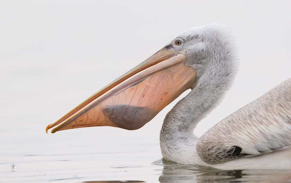 Dalmatian Pelican with Fish. A juvenile Dalmatian pelican with freshly caught fish shown in the pouch. Lake Kerkini in Northern Greece.