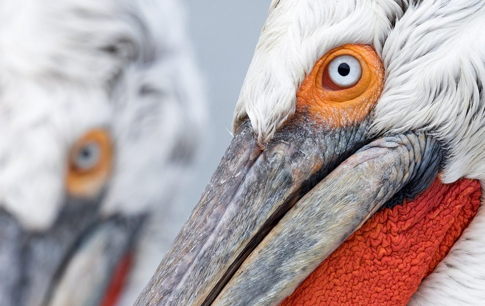 Dalmatian Pelican Close up. Lake Kerkini, Northern Greece. Daily feeds by the local fisherman offered some incredible opportunities to get up close and personal with these stunning birds. Here I used my telephoto lens at f/11 to pick out the fine details and ensure everything was tack sharp. I love the simplicity of images like this, focusing on shape, colour and fine detail rather than the wider view.