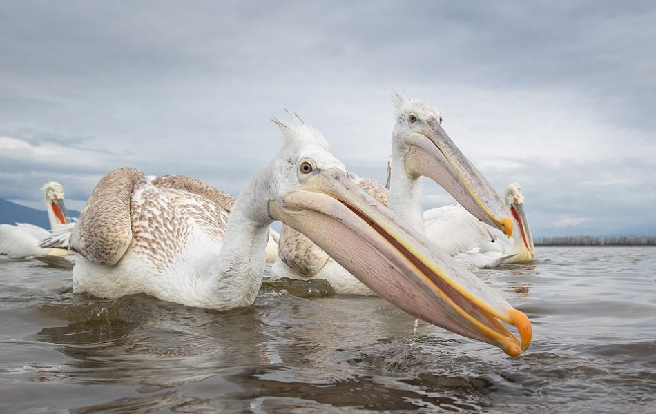 Juvenile Dalmatian Pelicans. In some areas the pelicans were so habituated that they would come within metres of us, allowing for some wide angle images. Here a pair of particularly confident juvenile pelicans reached out to grab a fish from the bucket next to me. Lake Kerkini, Northern Greece.