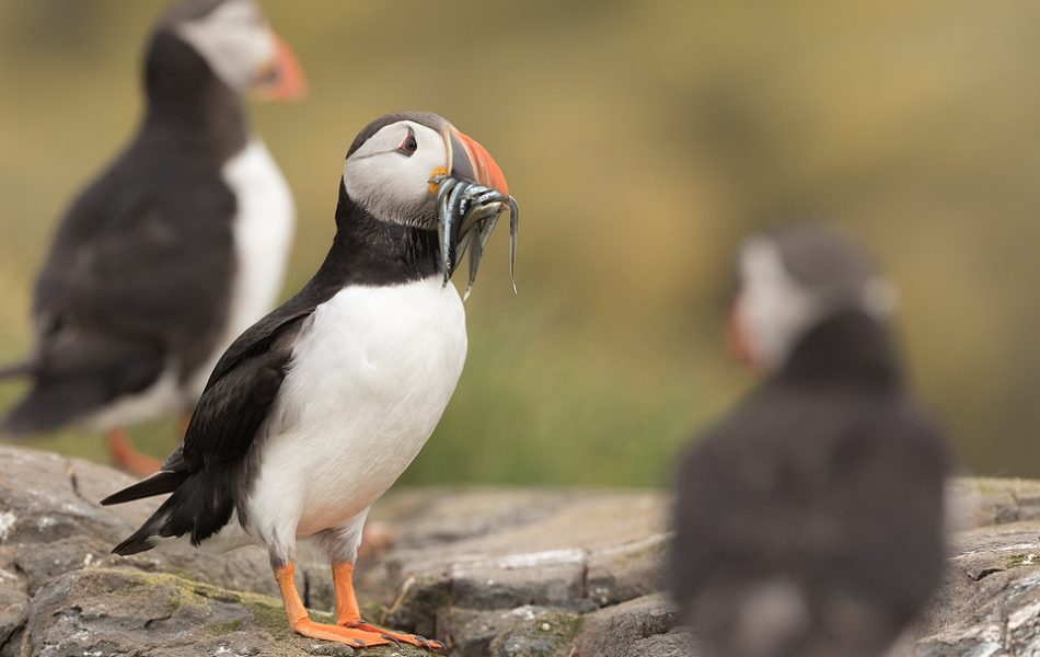 Puffin Group. Three Atlantic puffins on the rocky shore of Staple Island. Farne Islands, Northumberland.