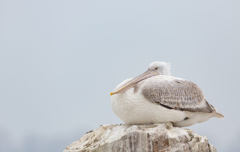 Juvenile Dalmatian Pelican resting on a rock at the edge of an artificial island, created specifically to help increase breeding success and reduce disturbance. Lake Kerkini, Northern Greece.