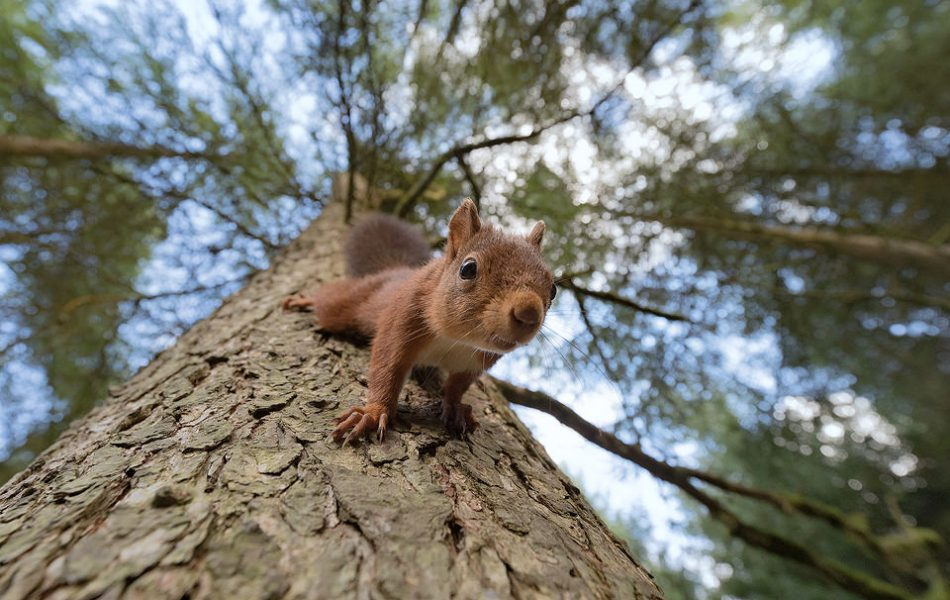 This inquisitive little red squirrel wasn't phased by me or my camera at all. Rather than keep using my long telephoto lens, this gave me the opportunity to get a different perspective with my wide angle lens. This image was taken at 18mm on full frame, so the squirrel was just an inch or two from the front of the lens! This wide angle image highlights their amazing ability to scale a tree headfirst thanks to their double-jointed ankles.