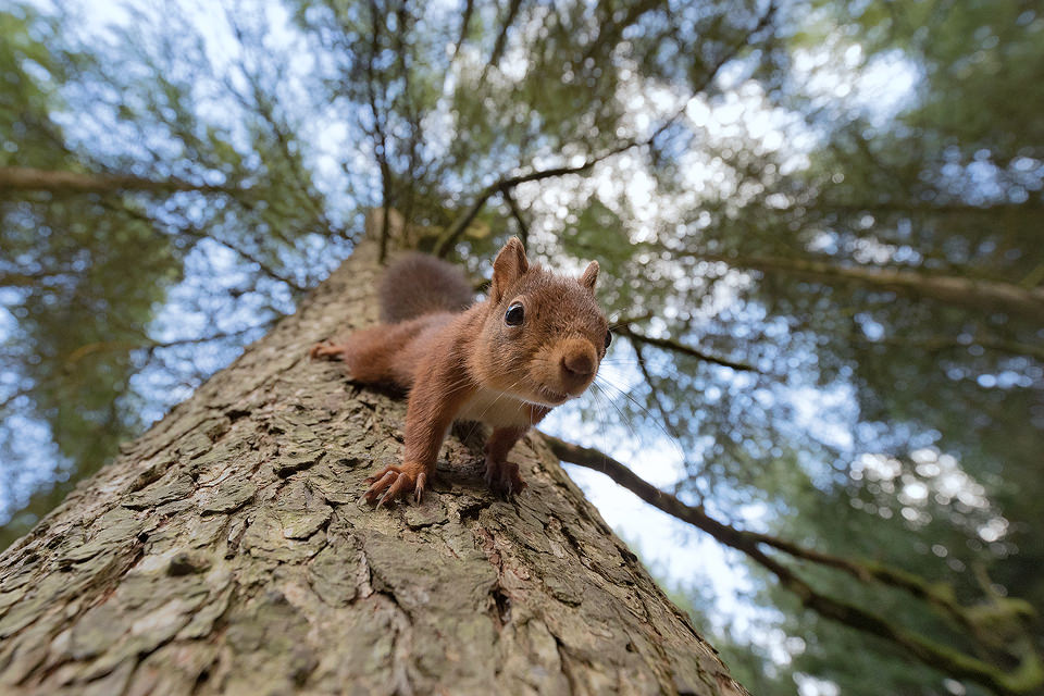 Red Squirrel – Tree trunk