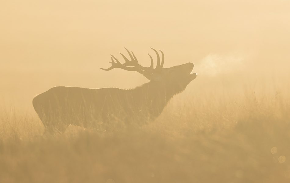 Backlit Stag. Red deer stag bellowing into the crisp dawn air. I had hoped for much more frosty mornings like this one during the rut, but sadly it was extremely warm this year, a trend that looks set to continue! Derbyshire, Peak District National Park.