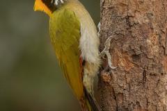 Greater yellownape woodpecker