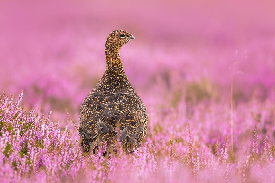 Peak District Red Grouse - Peak District Wildlife Photography