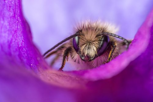 Leaf Cutter bee on a sweet pea petal