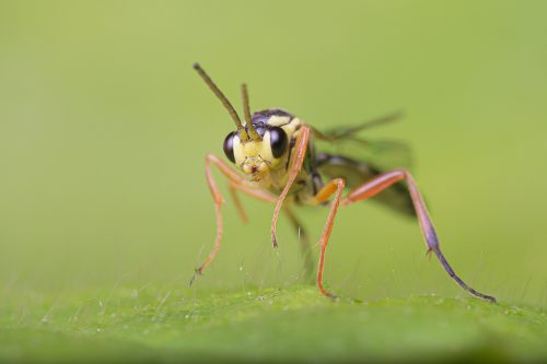 Macro photograph of a tiny fly on a leaf, photographed in Sheffield, UK.