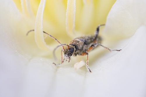 Macro photograph of a Two-banded Longhorn Beetle (Rhagium bifasciatum) covered in pollen, photographed in Sheffield, UK.