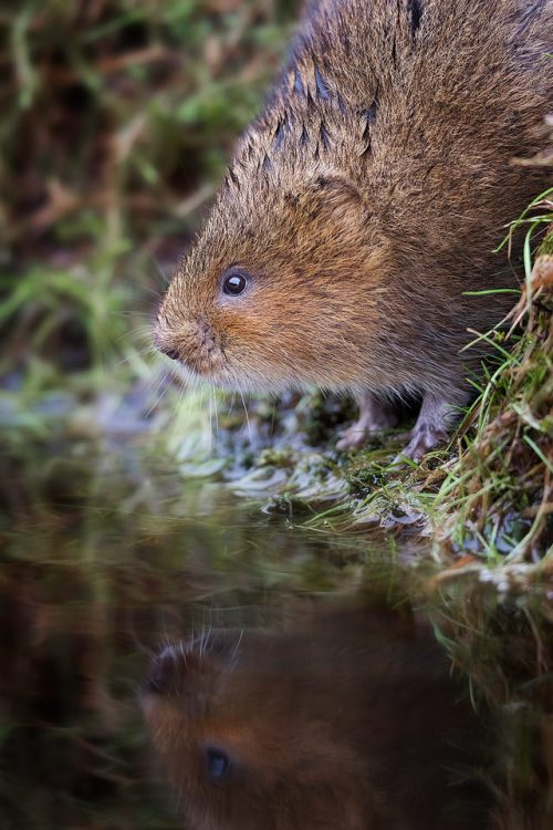 Water vole reflected in an upland stream - Peak District Wildlife Photography
