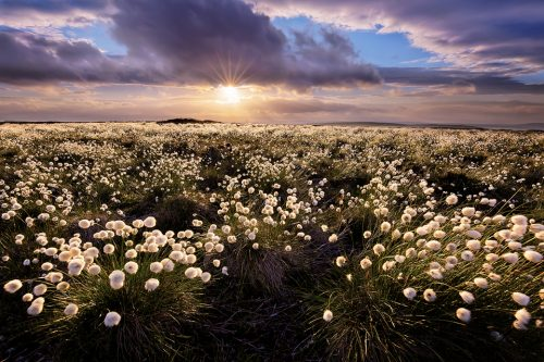 Peak District Cotton Grass - Peak District Photography.