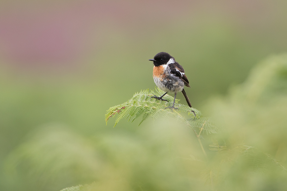 Juvenile Stonechat perched on a fern in the Peak District National Park. As the name 'Stonechat' suggests, the birds sharp call sounds like two stones being tapped together.