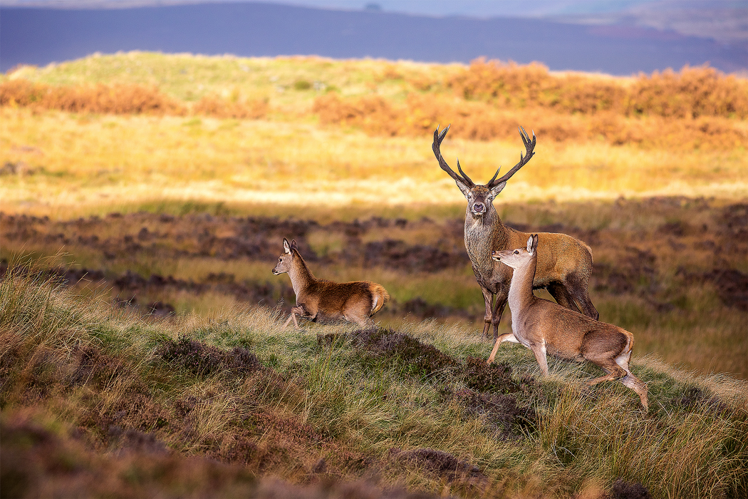 Red Deer stag - Peak District Photography Wildlife Nature