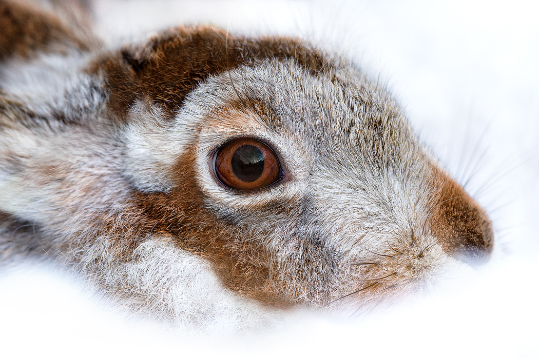Mountain Hare surrounded by winter snow - Peak District Wildlife Photography workshops