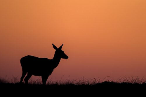 Red deer doe silhouette at sunset. I chose to take this image as a silhouette to emphasise the strong shape of the deer against the setting sun. Taken during the rutting season in the Peak District National Park.
