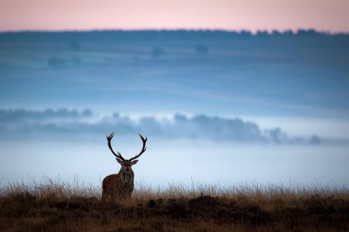 Lone red deer stag - Peak District Wildlife Photography