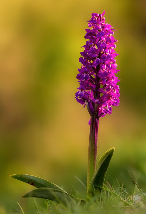 Early Purple Orchid, Cressbrook Dale, Derbyshire - Peak District Nature Photography