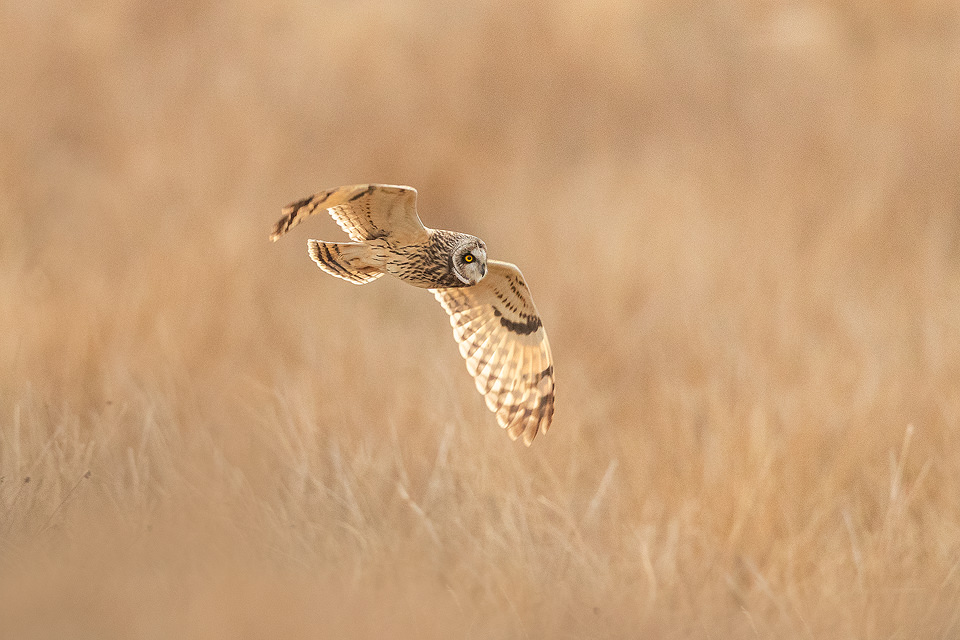Short-eared owl in flight over the Eastern Moors of the Peak District National Park.