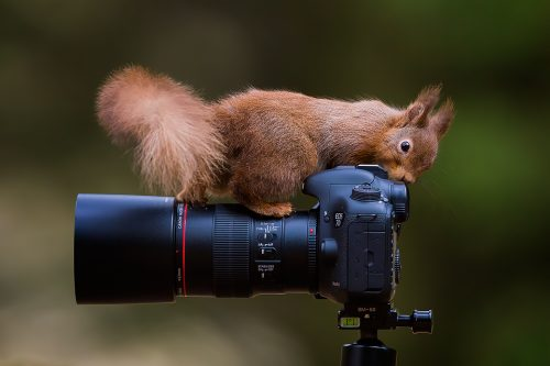 Yorkshire Red Squirrel - Yorkshire Wildlife photography