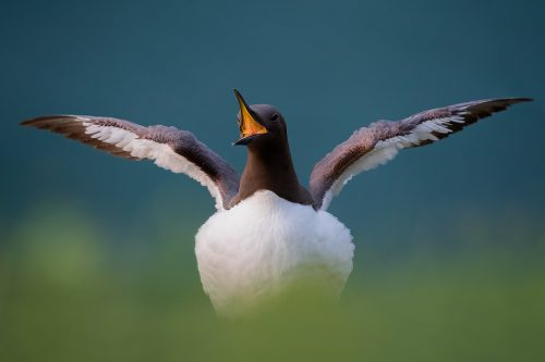 Displaying Guillemot