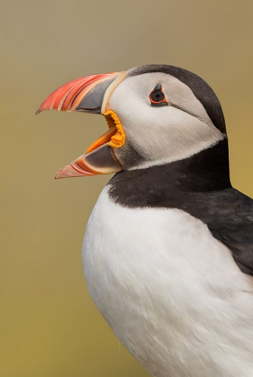 Squawking Puffin
