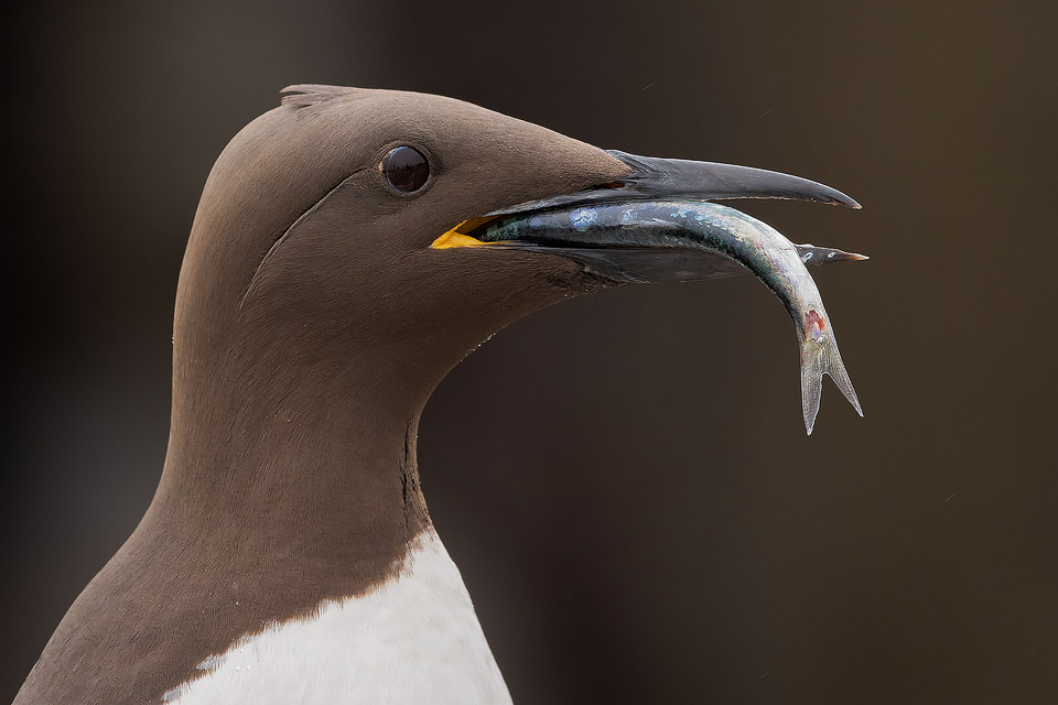 Guillemot With Fish