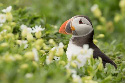 Puffin in Sea Campion