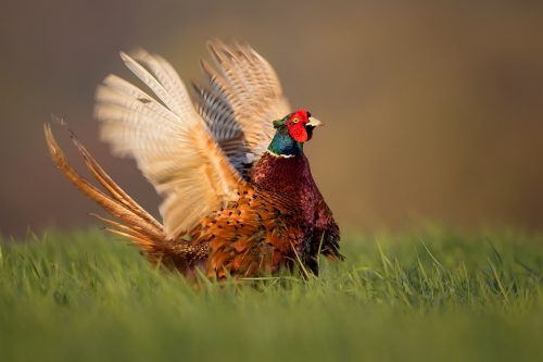 Pheasant Displaying - Peak District Wildlife Photography