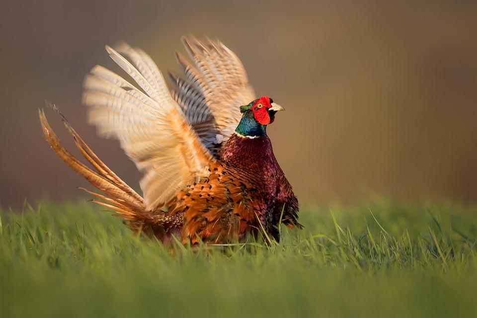 Pheasant Displaying - Peak District Wildlife Photography