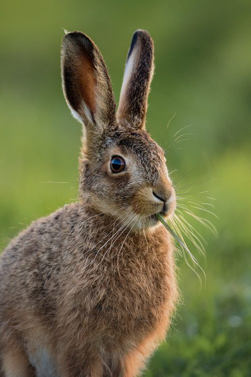 Brown Hare Leveret - Peak District Wildlife photography