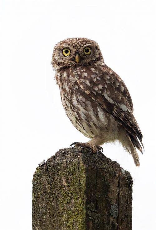 Little Owl Perched on a wooden signpost - Peak District Wildlife Photography