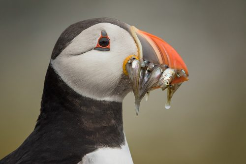 Puffin With Sand eels - British Wildlife photography