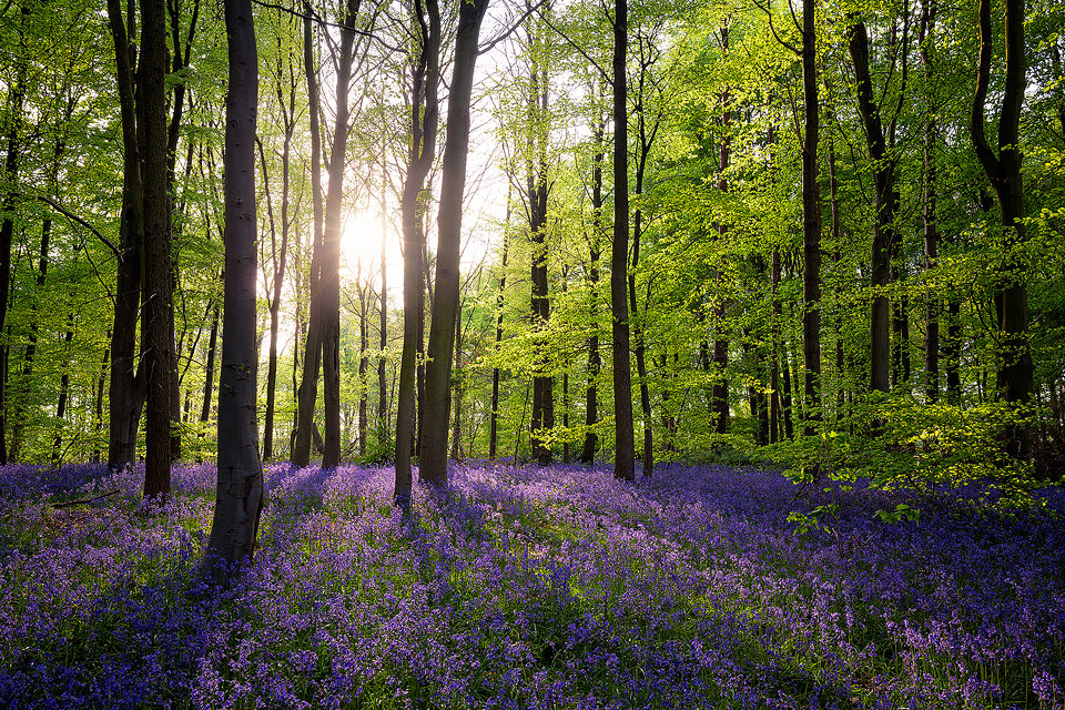 Clumber Park Bluebell Wood - Prints for sale