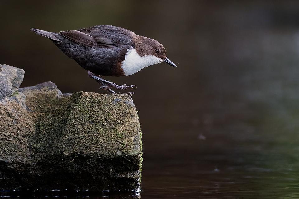 Dancing Dipper - Peak District Wildlife Photography