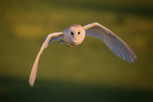 Barn Owl Hunting - Peak District Wildlife Photography cards