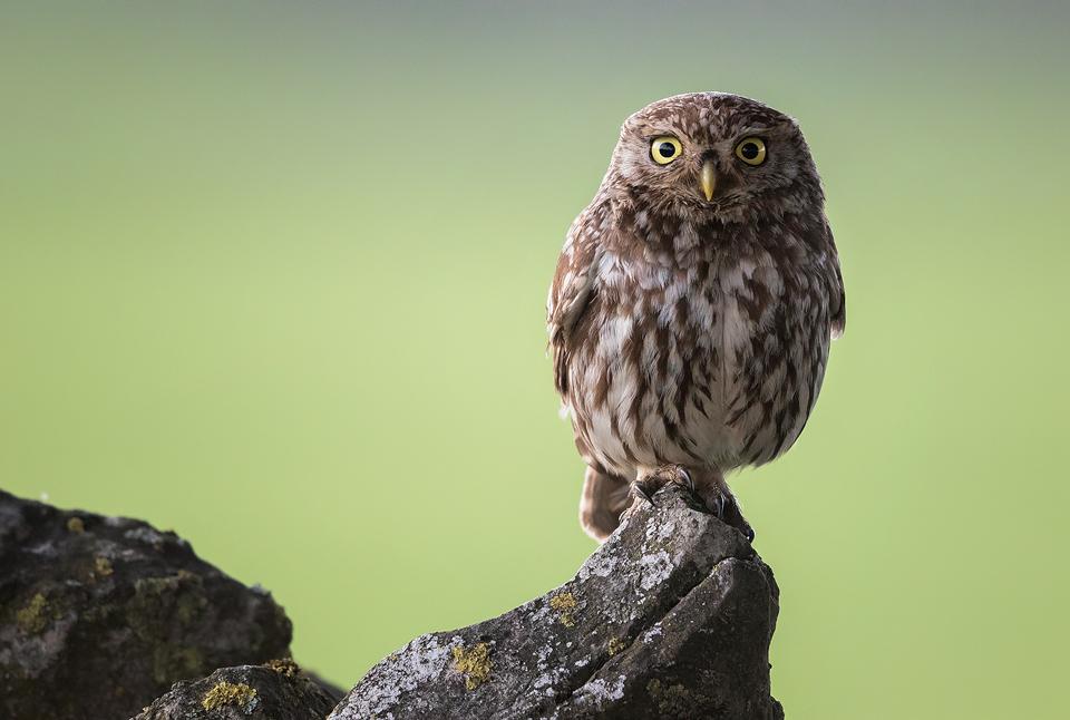 Little Owl Portrait - Peak District Wildlife Photography