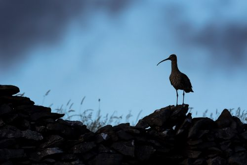 Curlew Silhouette, Foolow, Derbyshire - Peak District Wildlife Photography